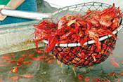 Crawfish Dipper